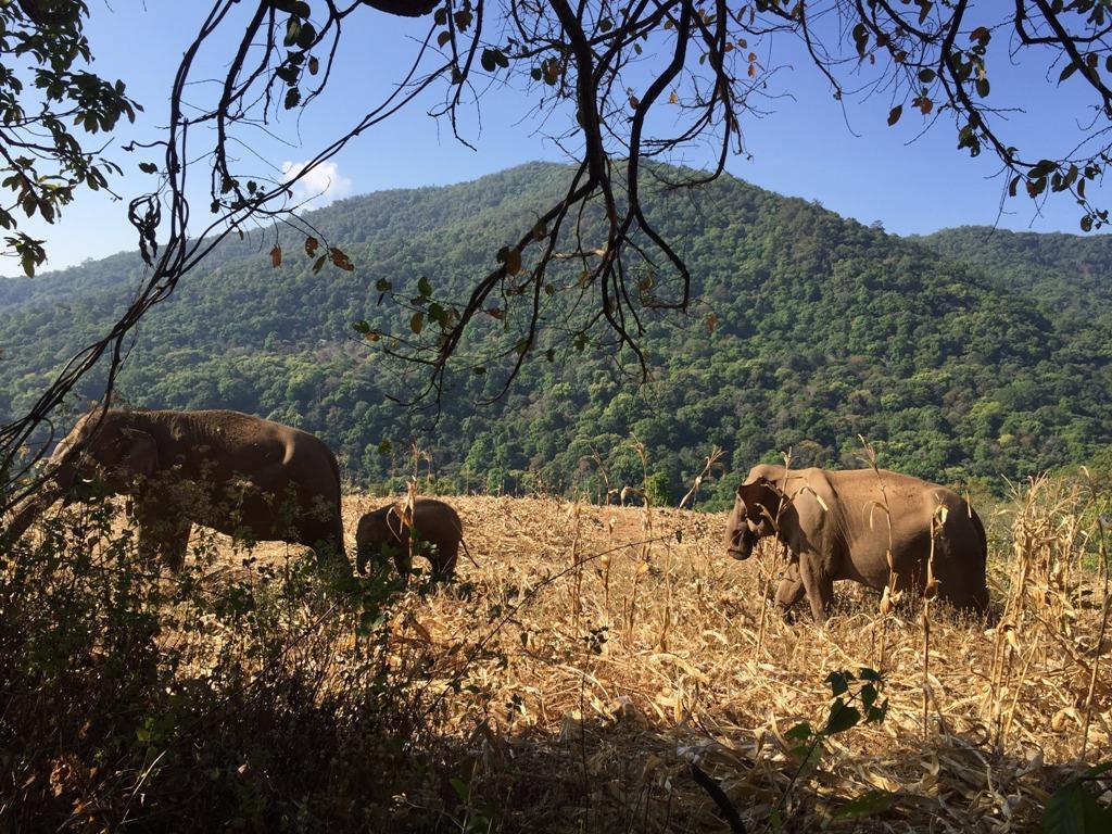 Resevanje_slonov_na_Tajskem_-_Rescue_elephants_in_Thailand_3.JPG